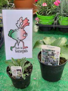 """Eryngium Alpinum (Regina delle Alpi) e Leontopodium Alpinum (Stella Alpina) di nostra produzione """"Made in Verzegnis"""""""
