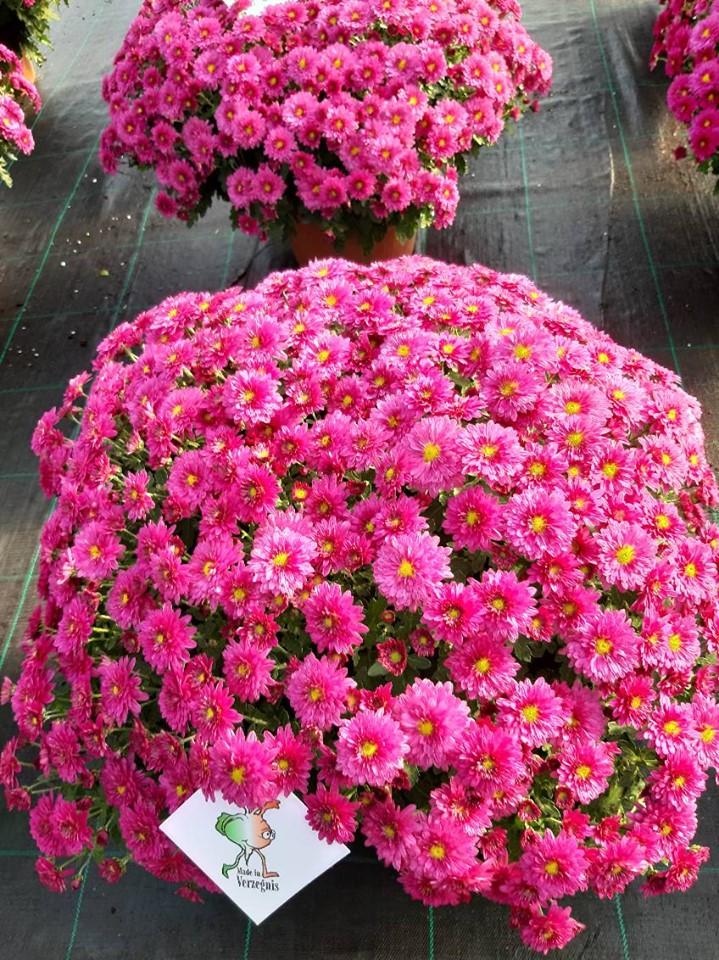 Crisantemi vaso 22 produzione 2019 #madeinverzegnis